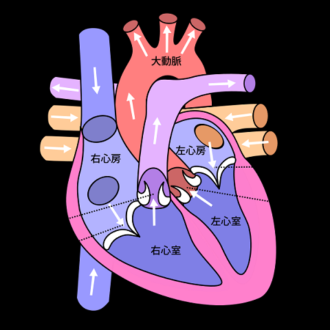 600pxdiagram_of_the_human_heart_28c
